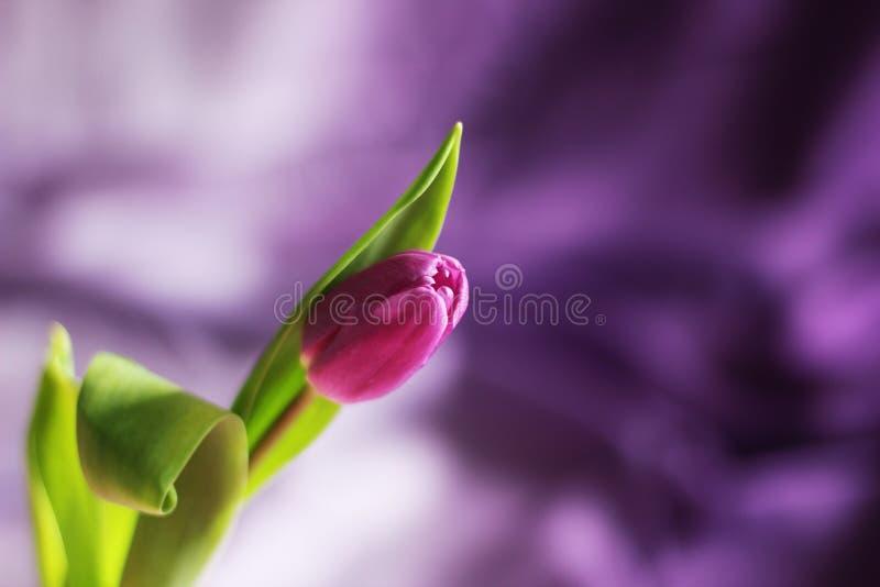 Tulipe pourpre simple et fraîche, foyer sélectif, fond pourpre, l'espace de copie photo libre de droits
