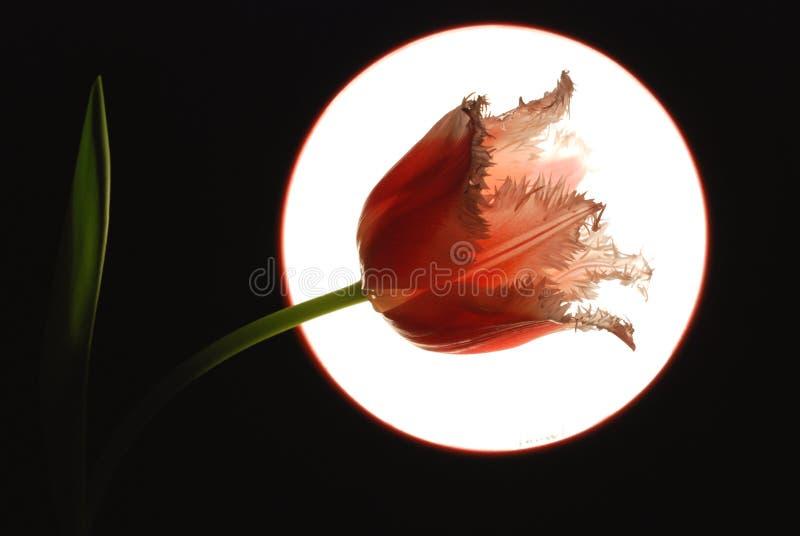 Tulipe rose photographie stock
