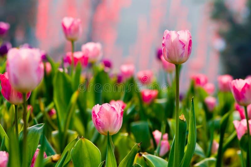 Tulipe rose photo libre de droits