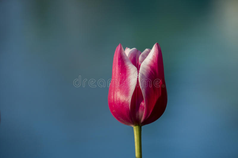 Tulipe rose photos libres de droits