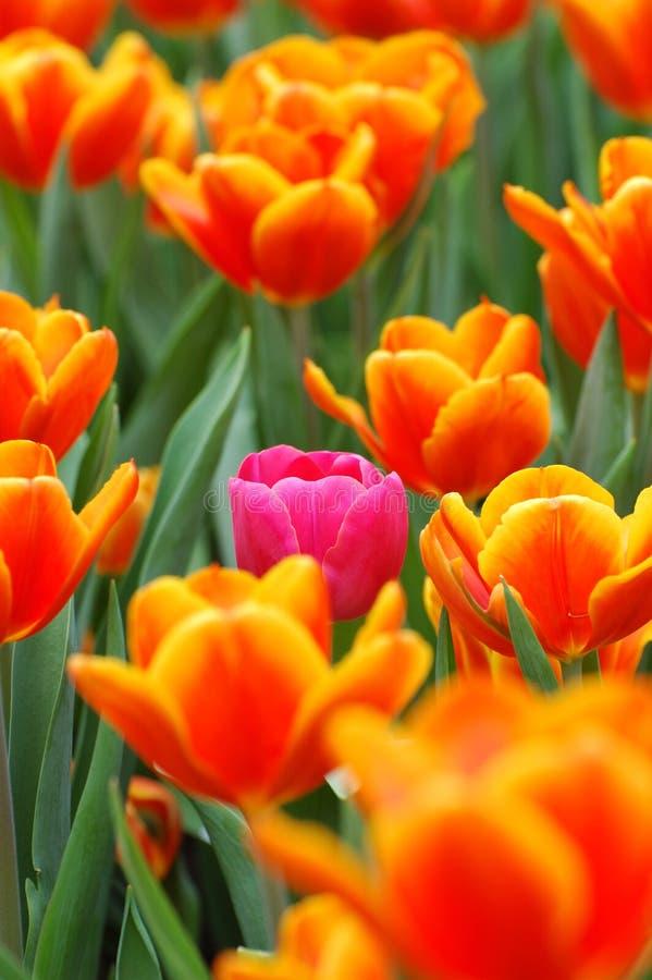 Tulipe rose dans l'orange image stock