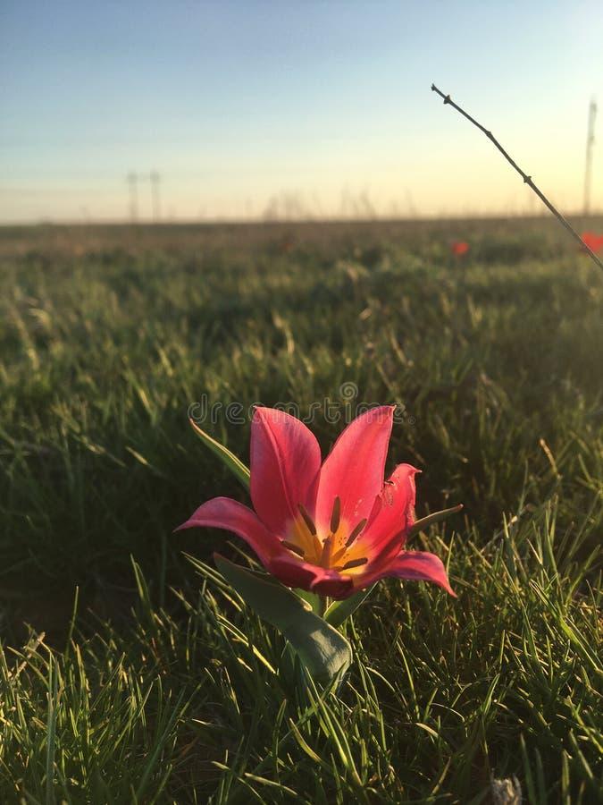 Tulipe rose dans la steppe russe photos libres de droits