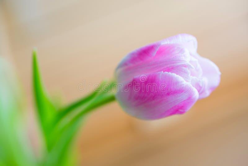Tulipe rose sensible sur le fond mou photos libres de droits