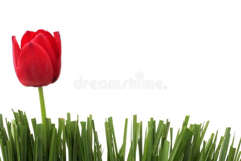 Tulipe rouge photo stock