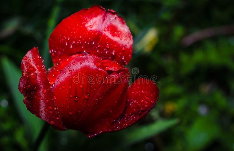 Tulipe rouge photo stock