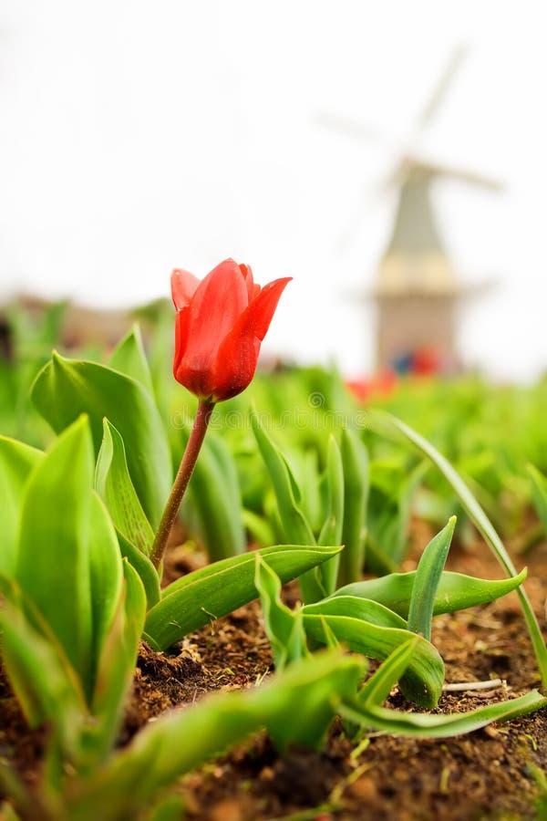 Tulipe rouge avec le vieux moulin à vent néerlandais sur le fond photos libres de droits