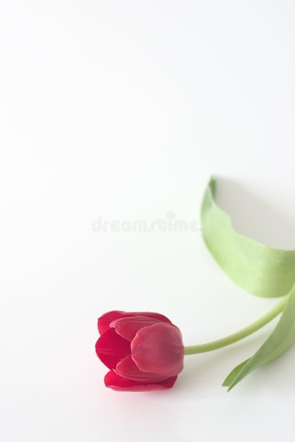 Tulipe rouge Copyspace 2