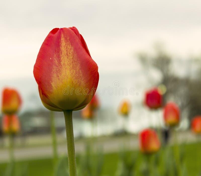 Tulipe rouge et jaune au foyer contre le ciel pâle photo libre de droits