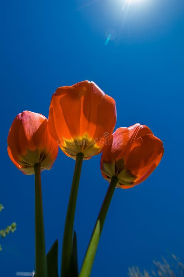 Tulipe rouge sur le ciel bleu photos libres de droits