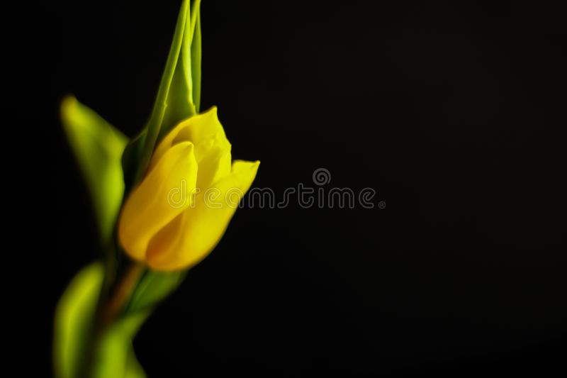 Tulipe simple - concept de ressort images stock