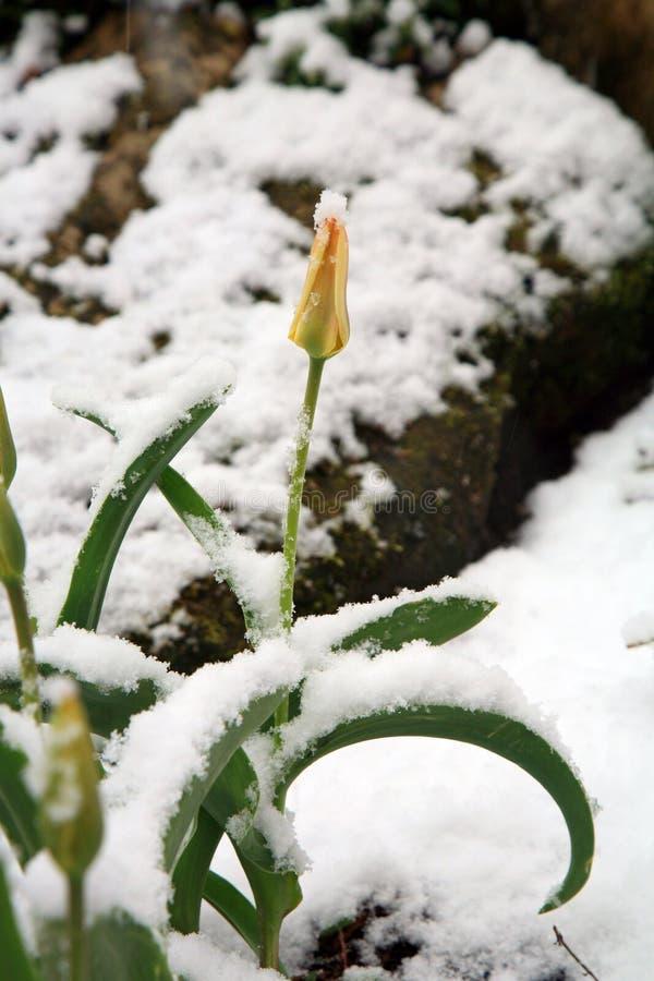 Tulipe sous la neige images libres de droits