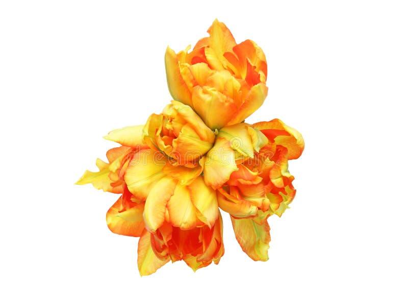 Tulipes à un arrière-plan blanc photos libres de droits