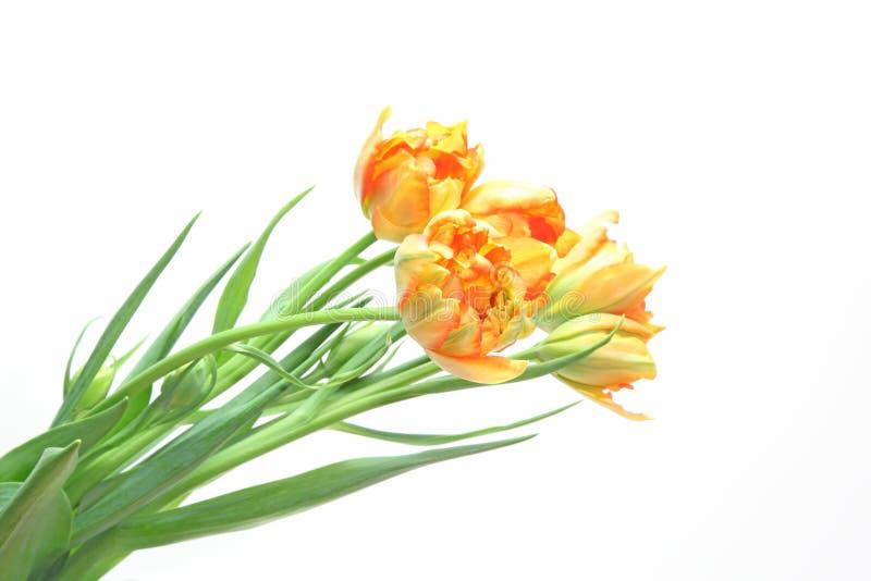 Tulipes à un arrière-plan blanc images stock