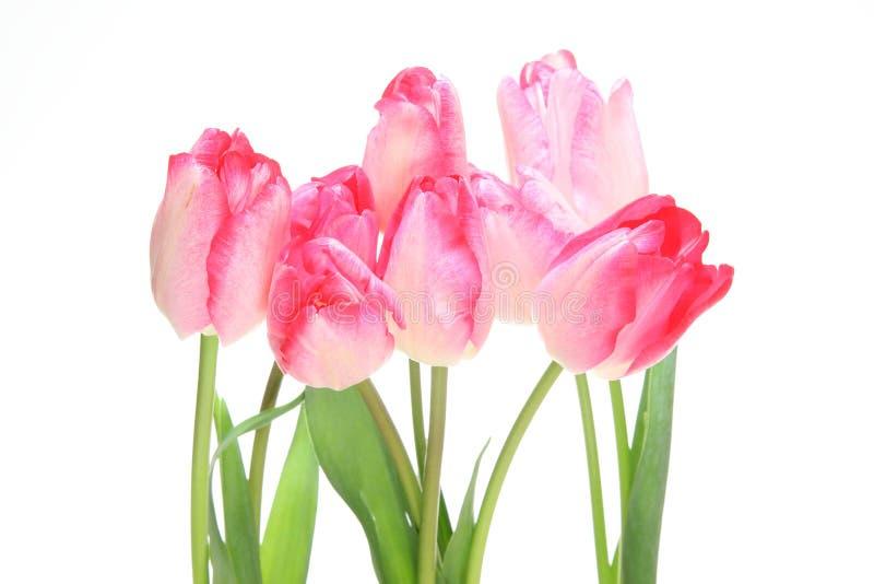 Tulipes à un arrière-plan blanc photographie stock