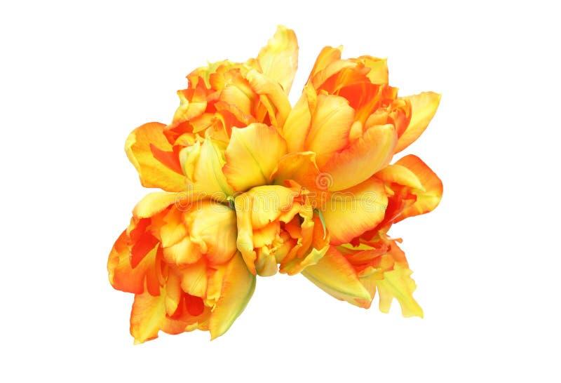 Tulipes à un arrière-plan blanc photographie stock libre de droits