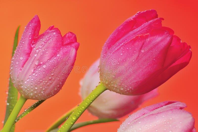 Tulipes 3 de source images stock