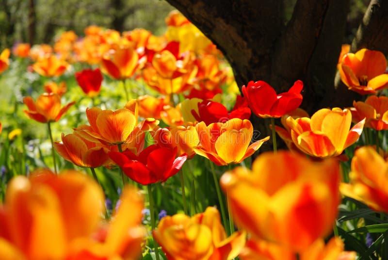 Tulipes photo libre de droits