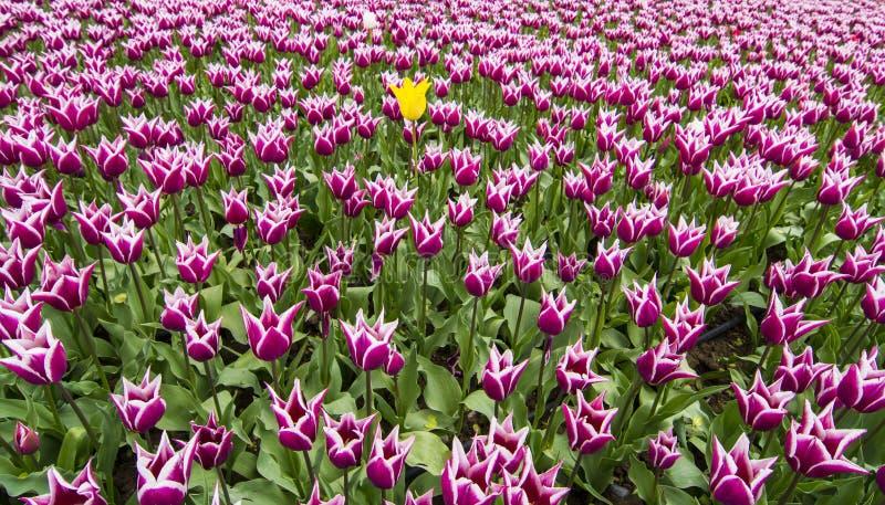 tulipes image stock image du clear ext rieur oignon 61415383. Black Bedroom Furniture Sets. Home Design Ideas