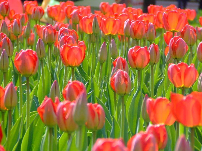 Download Tulipes image stock. Image du fleur, festival, ressort - 736343