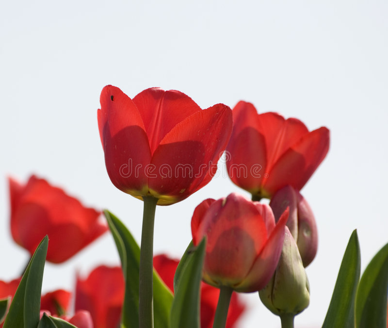 Download Tulipes image stock. Image du juin, pouvez, vert, avril - 739779