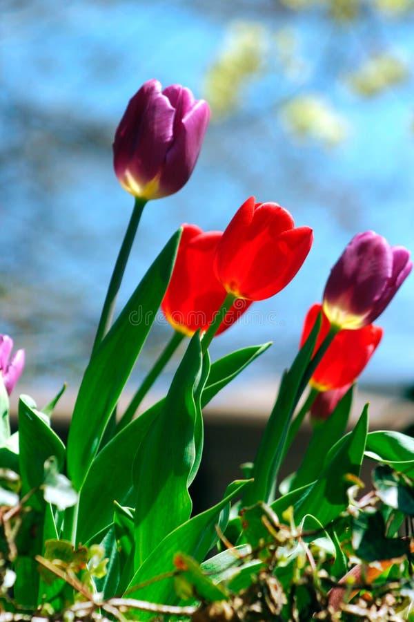 Download Tulipes photo stock. Image du ressort, radiophare, tulipes - 743380