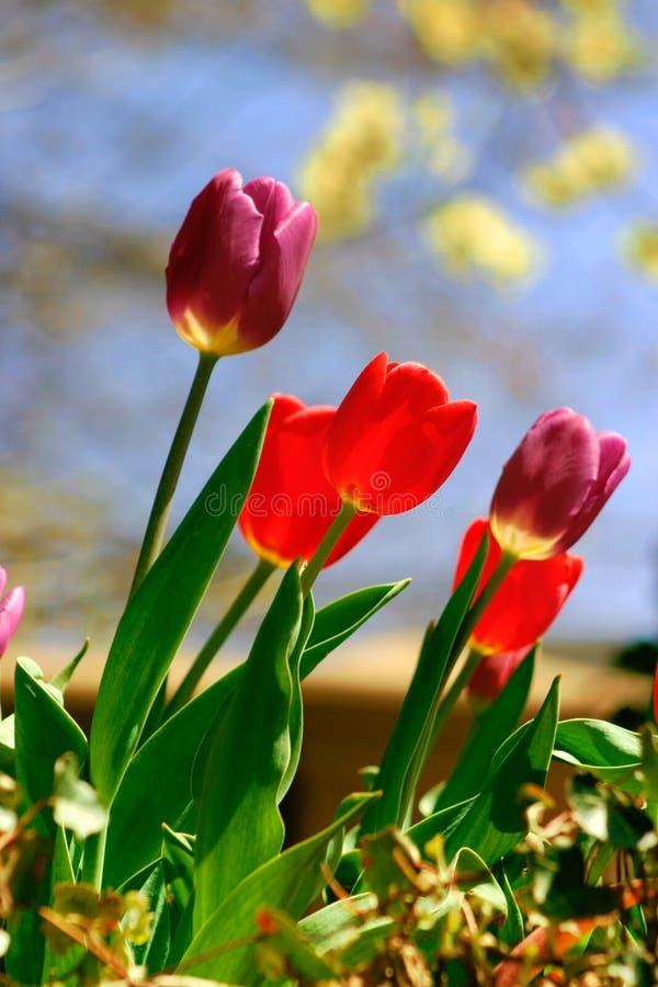 Download Tulipes photo stock. Image du flore, été, lame, ressort - 743386