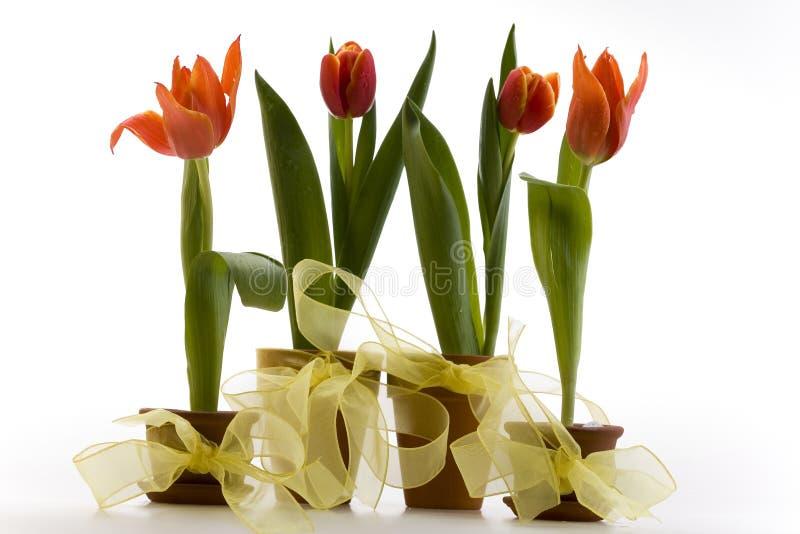 Download Tulipes photo stock. Image du pétale, couleur, rouge, nature - 8670426