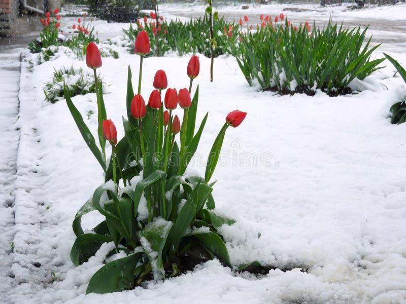 Tulipes après tempête de neige inattendue photographie stock libre de droits