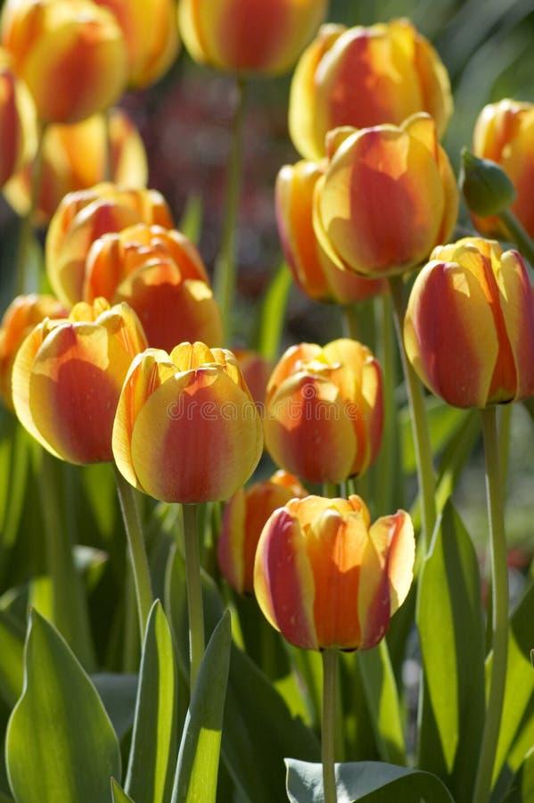 Download Tulipes Au Coucher Du Soleil Photo stock - Image du fleur, vert: 725742
