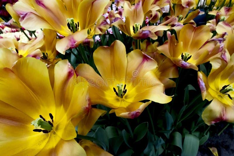 Tulipes aux Pays-Bas photo libre de droits