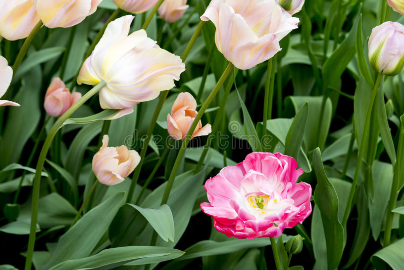 Tulipes aux Pays-Bas image stock