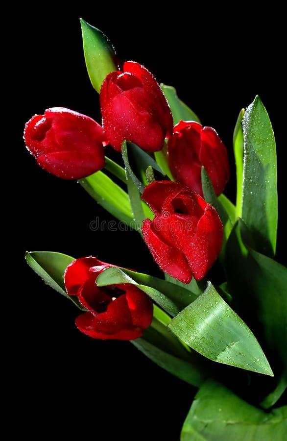 Tulipes avec la rosée image stock