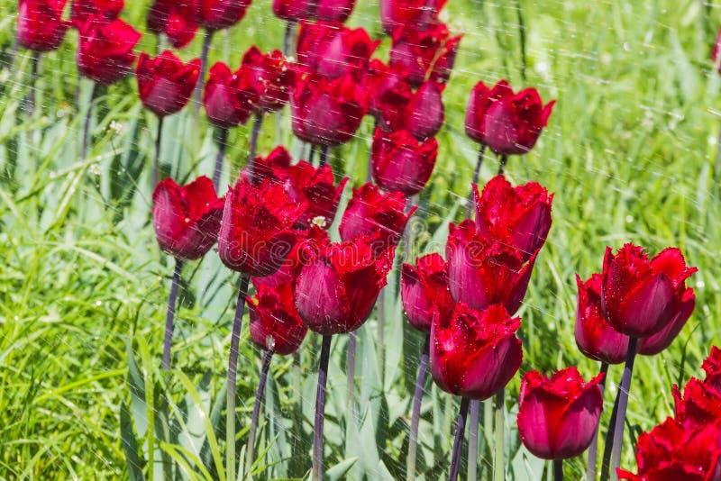Tulipes avec le jet d'eau images libres de droits