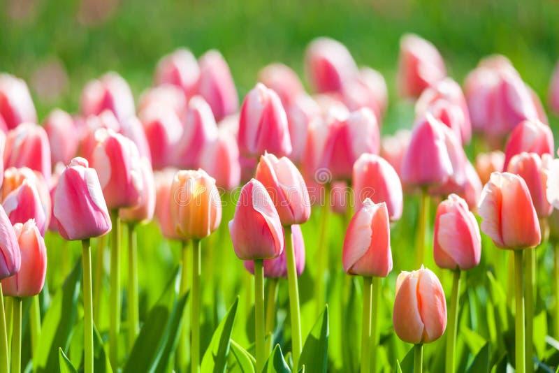 Tulipes Beau jardin de fleurs au printemps, fond floral photographie stock libre de droits