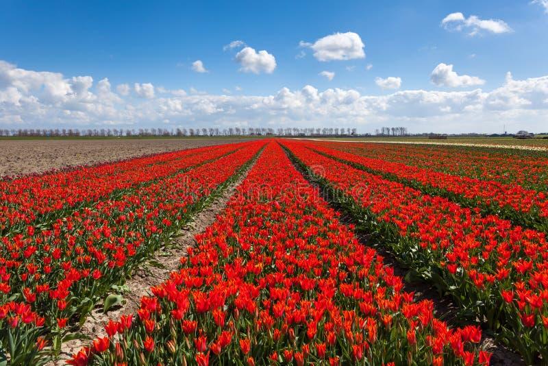 Tulipes Belles fleurs rouges colorées photo stock