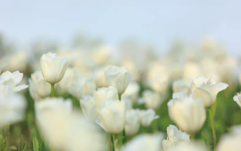 Tulipes blanches photo libre de droits