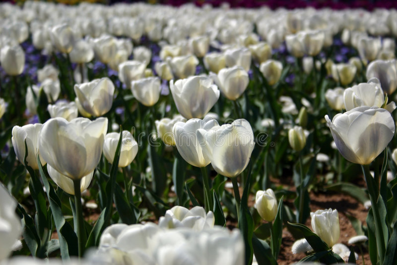Download Tulipes blanches image stock. Image du floral, floraison - 88967