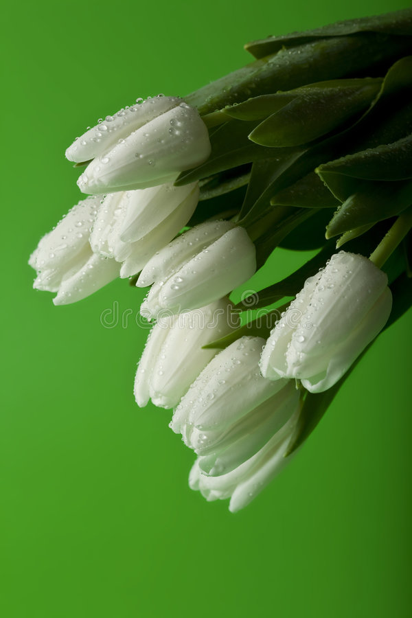 Download Tulipes blanches humides photo stock. Image du pâques - 8664724