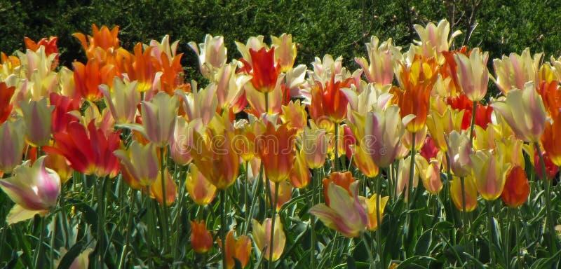 Tulipes blanches, rouges, oranges, et jaunes assorties photos libres de droits