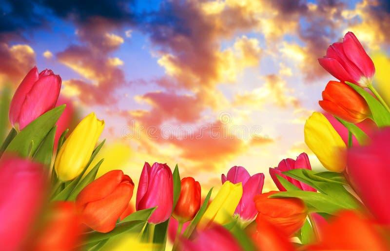 Tulipes colorées au coucher du soleil images libres de droits