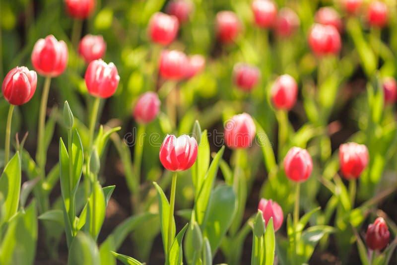 Tulipes colorées dans le jardin photographie stock