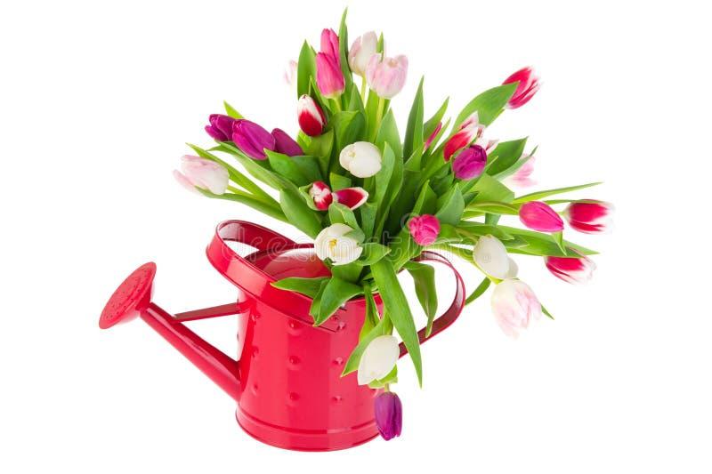Tulipes colorées de bouquet dans le bidon d'arrosage photo stock