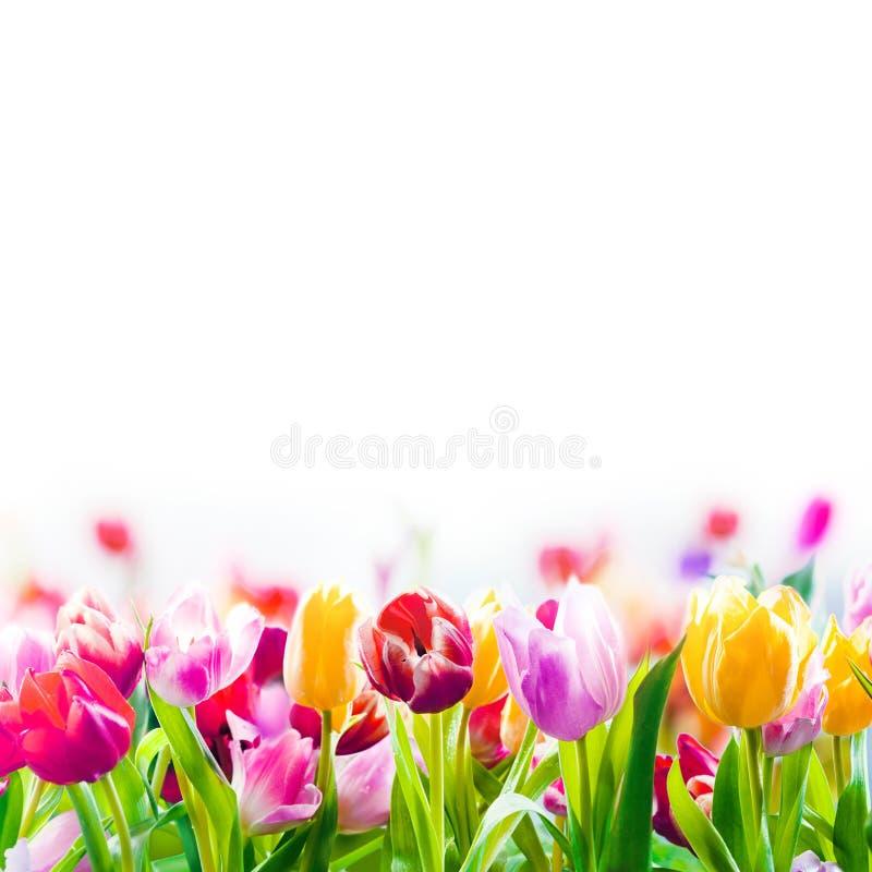 Tulipes colorées de ressort sur un fond blanc photo stock