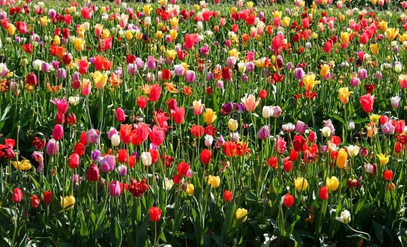 Tulipes colorées multi image stock
