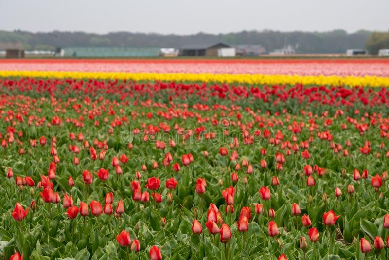Tulipes colorées multi dans un terrain de fleur près de Lisse, Pays-Bas photo libre de droits