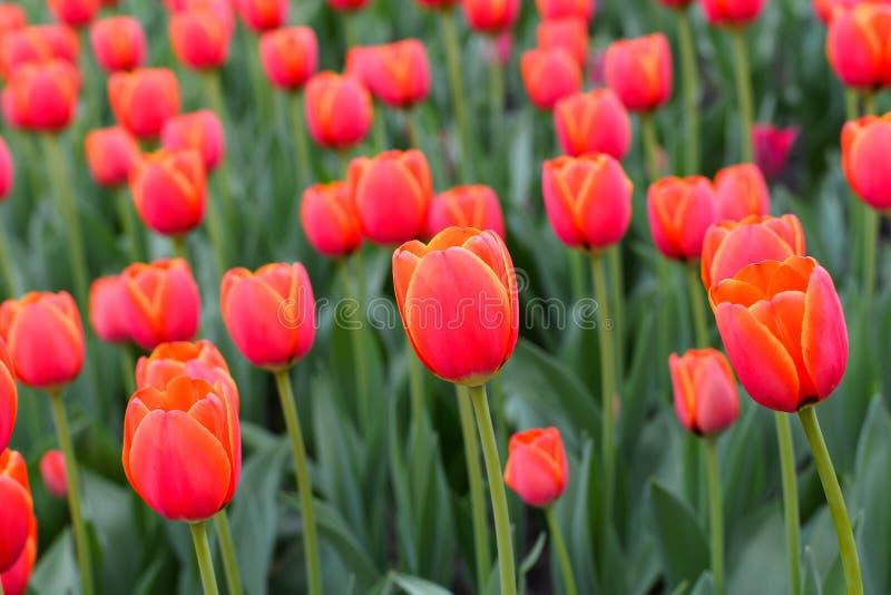 Tulipes color?es artificielles dans des couleurs rouges et jaunes oranges avec les feuilles vertes import?es vers photo stock