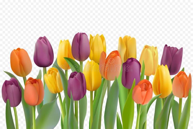 Tulipes color?es r?gl?es illustration libre de droits