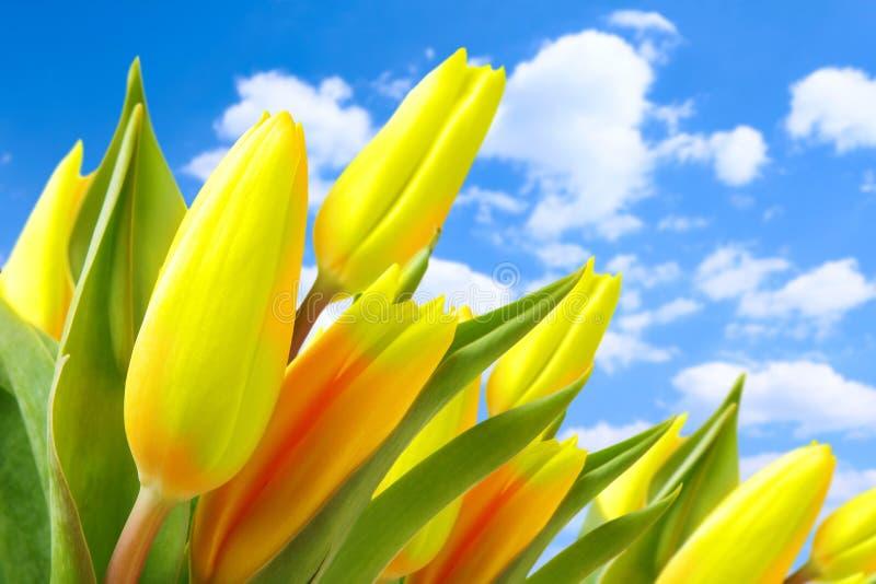 Tulipes contre le ciel bleu photographie stock