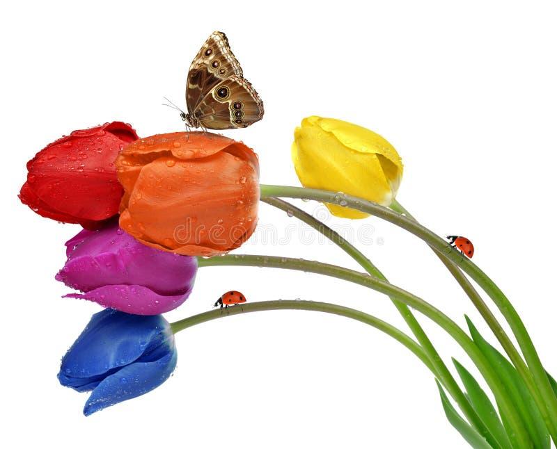 Tulipes couvertes de rosée colorées images stock