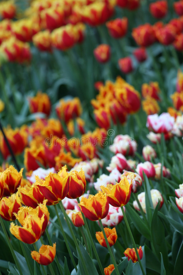 Tulipes d'Amsterdam photo libre de droits